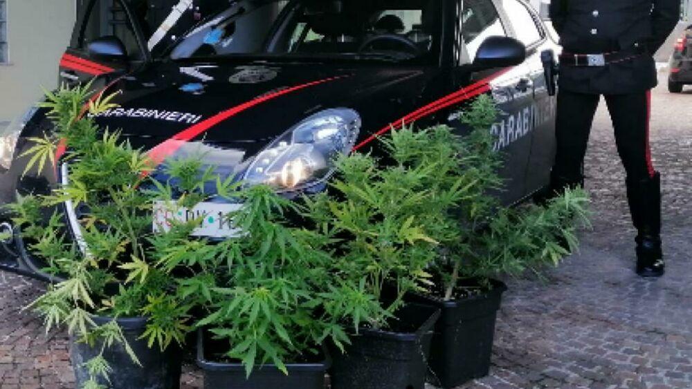Ben coltivate lungo la ferrovia di Legnago, trovate 5 piante di cannabis