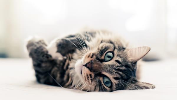 """""""I gatti più belli del mondo"""" tornano a Verona per la mostra felina in Gran Guardia"""