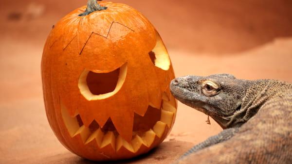 Halloween. Giganti carnivori alle prese con le zucche al Parco Natura Viva