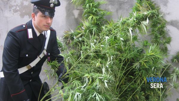 Lotta alla droga: otto piante di marijuana sequestrate a Poiano