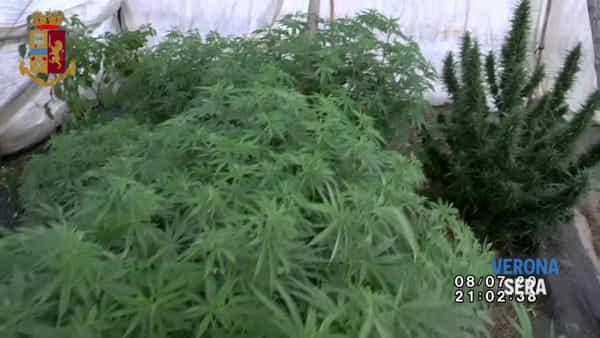 Serra con 94 piante di marijuana e oltre 4 chili in casa: 45enne di nuovo in manette