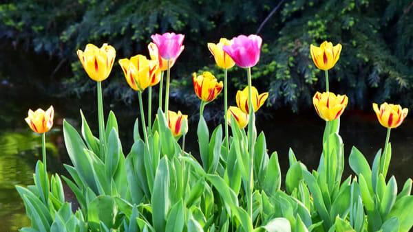 """Scatta la """"Tulipanomania"""" con il contest fotografico del Parco Giardino Sigurtà"""