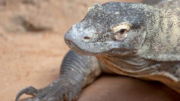 Drago di Komodo: «Abbiamo scoperto l'ultima popolazione vivente»
