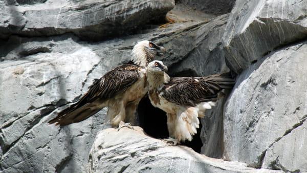 Un San Valentino da trascorrere sul nido per i gipeti del Parco Natura Viva