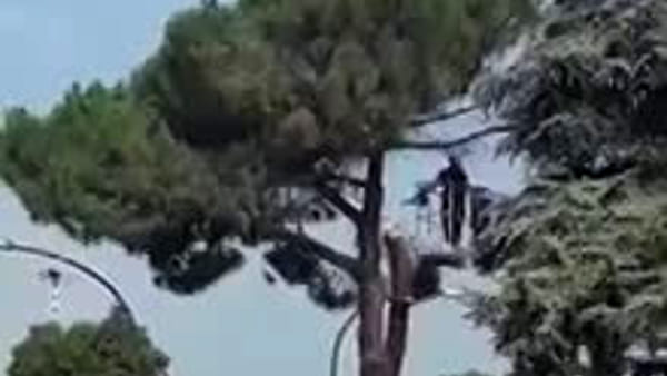 Motoseghe in azione in via Frà Giocondo, alberi tagliati per il filobus